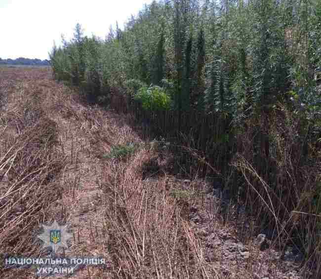 В Одесской области правоохранители обнаружили поле конопли