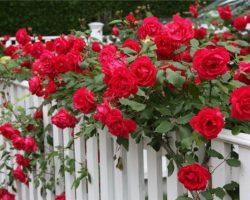 Большой выбор саженцев роз с доставкой
