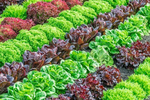 Великий вибір насіння салату